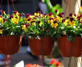 """1.maijā Rožu laukumā norisināsies ikgadējie svētki dārzkopjiem """"Pavasaris ziedos"""""""