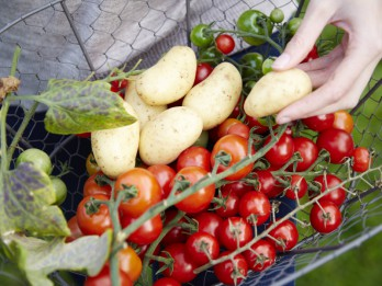 Unikāls augs, kas ražo tomātus un kartupeļus vienlaicīgi