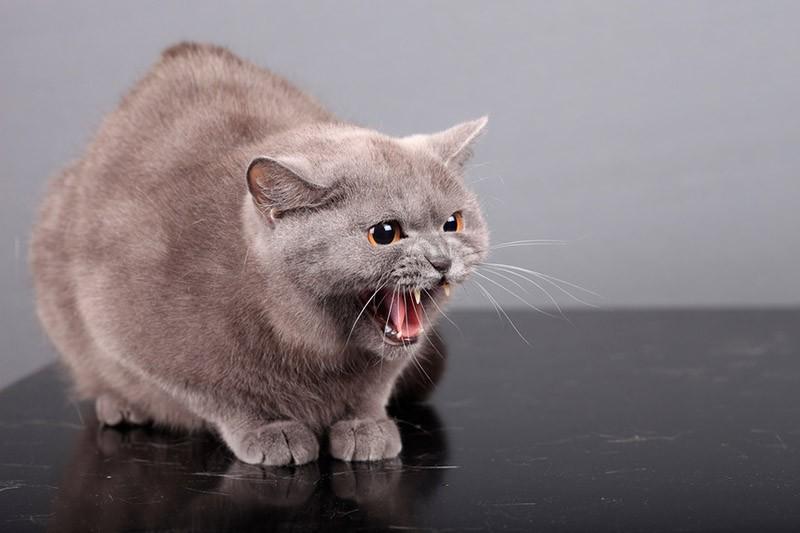 Kāpēc kaķi un citi mājdzīvnieki kļūst agresīvi?